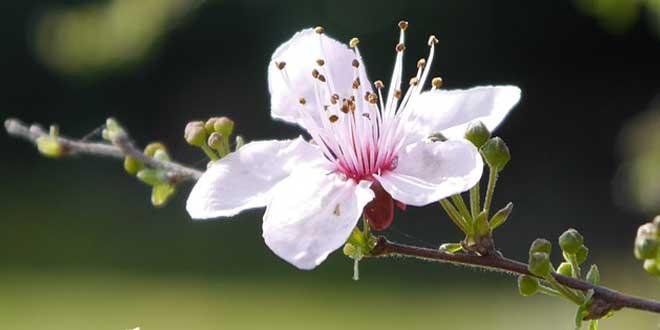 Cherry Plum Bachblütenist wirksames Mittel zur Normalisierung des Gefühlslebens