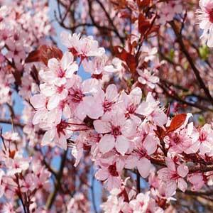 Cherry Plum Bachblüten für Gefühlskonflikte und Gefühlsnot.