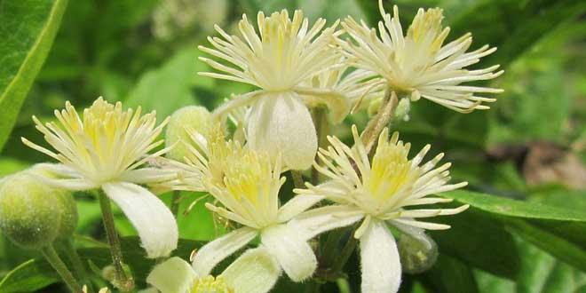 Clematis Bachblüten Nr. 9 hilft bei Schläfrigkeit.