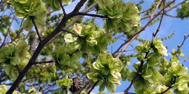 Die Englische Ulme ist ein ungefähr 20 Meter breiter, laubabwerfender Baum, der Wuchshöhen von 1 bis zu 40 Meter erreicht und einen dicken, bis in die Baumkrone geraden Stamm aufweist.
