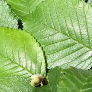 Die Englische Ulme findet in weiten Teilen Europas ihre Verbreitung und wächst in Wäldern und an Hecken.