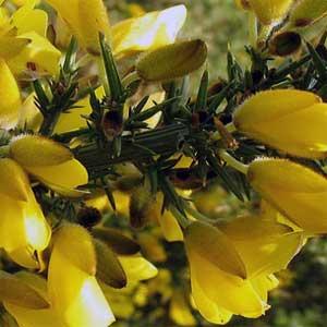 Der Stechginster hindert mit seinen vielen Zweigen und großen, kräftigen Dornen (10 bis 20 Millimeter) Tiere daran, seine Blüten zu fressen.