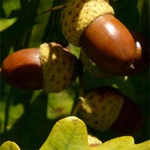 Die durch Bitterstoffe für den Menschen ungenießbaren Eicheln sind sehr nahrhaft und enthalten bis zu 38 % Stärke.