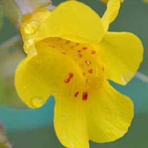 Mimulus Bachblüten Nr. 20 hilft bei Furcht, Angst in bestimmten Situationen.