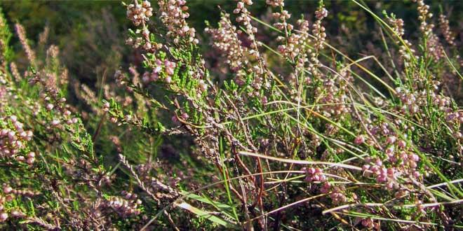 Sie ist eine prägende Pflanzenart der Heidelandschaft.