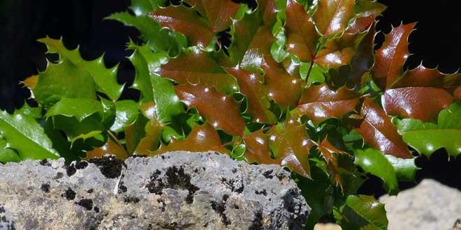 Junge Zweige sind grün und dicht behaart, verkahlen jedoch, wenn sie älter werden.
