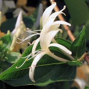 Das Echte Geißblatt ist eine rechtswindende, sommergrüne, verholzende Kletterpflanze (Liane), die zwei Meter hoch wachsen kann.