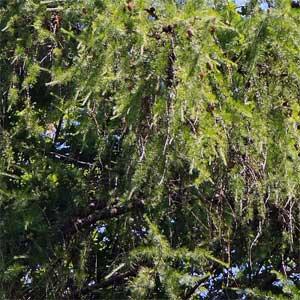Um Schädigungen durch Frosttrocknis an sonnigen Wintertagen zu vermeiden, verliert die Lärche im Herbst ihre Blätter, wie es sonst bei laubabwerfenden Laubbäumen üblich ist.