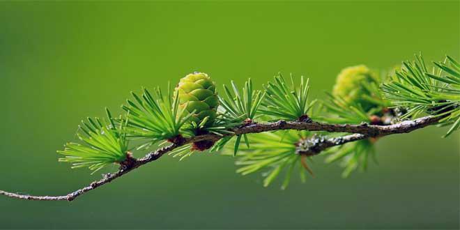 Die Lärche ist ausgesprochener Lichtbaum der obermontanen bis subalpinen Höhenstufe.