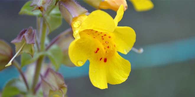 Die Gelbe Gauklerblume stammt ursprünglich aus dem westlichen Nordamerika.