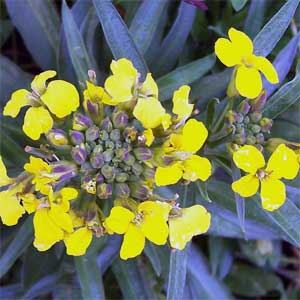 Mustard-Bachblüten-Wilder-Senf