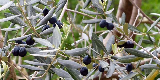 In Spanien werden etwa 200 Olivensorten kultiviert.