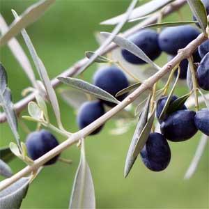 Die heute angebauten Sorten gehen noch immer auf den Beginn der Kultivierung zurück.