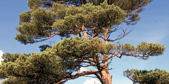 Ausschlaggebend sind hier wie auch bei den anderen Arten der gerade Wuchs, das rasche Wachstum, die geringen Ansprüche an den Standort und die gute Verwendbarkeit des Holzes.