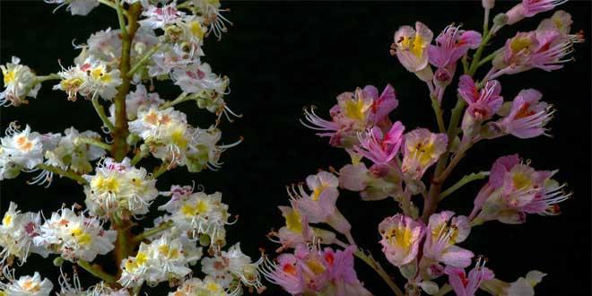 Die trüb hellroten Blüten stehen in einem lockeren 12 bis 20 Zentimeter langen rispigen Blütenstand.