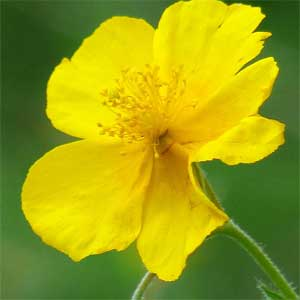 """Blütenökologisch handelt es sich um sonnenwendige, homogame """"Pollen-Scheibenblumen""""."""
