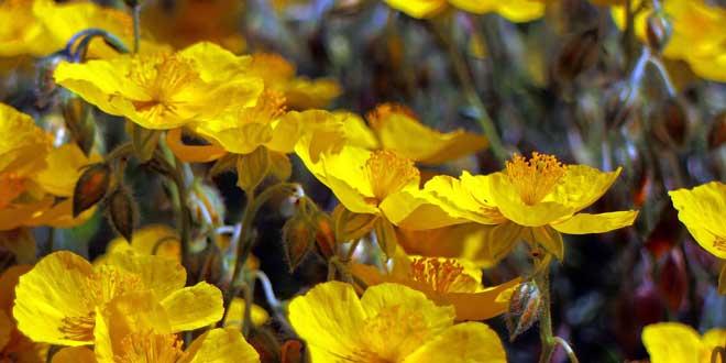 Die Blütezeit reicht von Mai bis September.