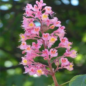 Sweet Chestnut Bachblüten Nr. 30 bei einem Gehfühl der Ausweglosigkeit