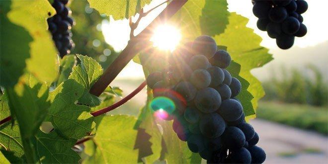 Die Böden der Weinrebe sind meist trocken oder mäßig feucht.