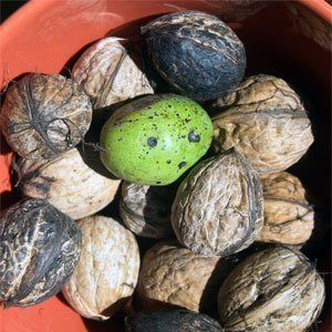 Eine weitere Möglichkeit ist die Ernte halbreifer grüner Nüsse im Juni