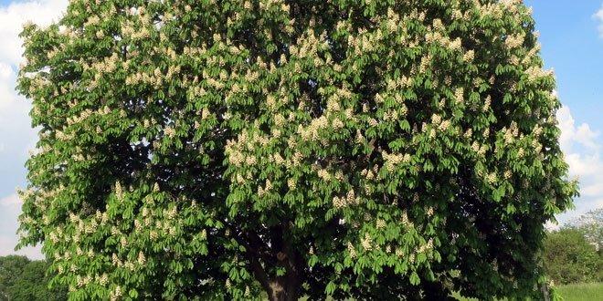 White Chestnut Bachblüten Nr. 35 - Weiße Kastanie