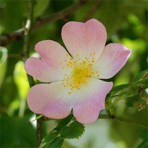 Rosa canina oder Wild Rose ist sehr formenreich, weshalb in der Vergangenheit einige hundert Arten dieser Sippe beschrieben wurden.