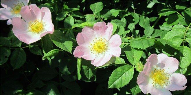 Sie ist die mit Abstand häufigste wild wachsende Art der Gattung Rosen (Rosa canina) in Mitteleuropa.
