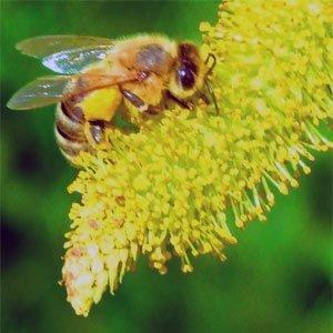Die Willow (Salix) ist eine Pflanzengattung aus der Familie der Weidengewächse (Salicaceae).
