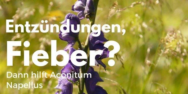 Homöopathisch potenziert wird Aconitum napellus gerne eingesetzt