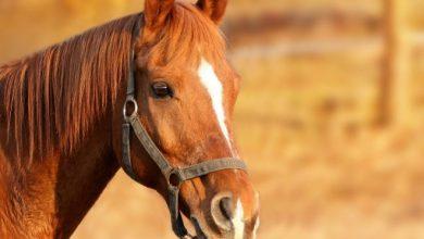 Hekl a lava hilfte dem Pferd bei rüchige Hufe, Spondylose oder Exostosen