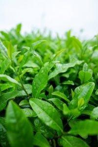 Matcha Tee oder Grüntee