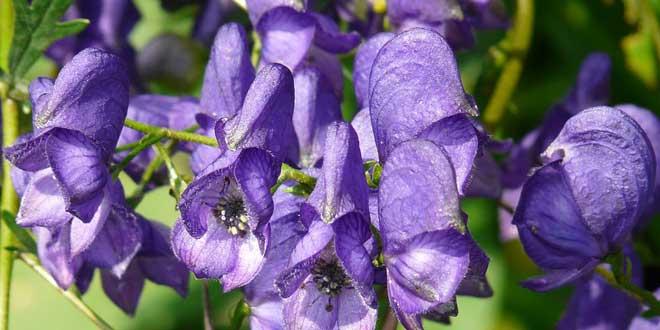 Aconitum napellus, Blauer Eisenhut oder Sturmhut