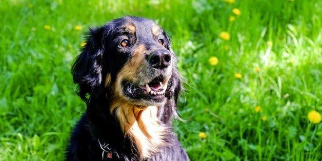 Acidum Nitricum beim Hund