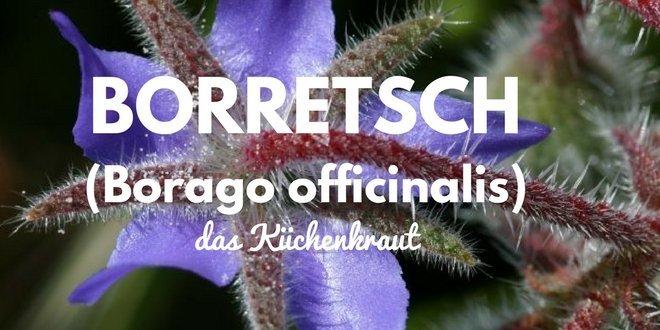 Borretsch (Borago officinalis) ist ein Küchenkraut